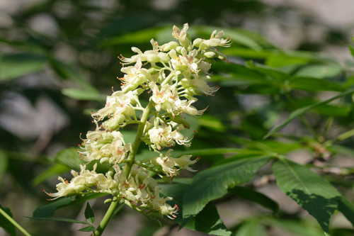 Aesculus glabra #3
