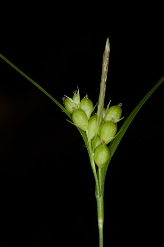 Carex bulbostylis #16