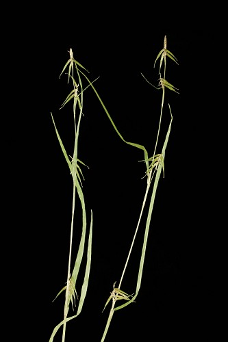 Carex collinsii #1