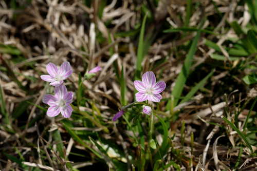 Claytonia virginica #1