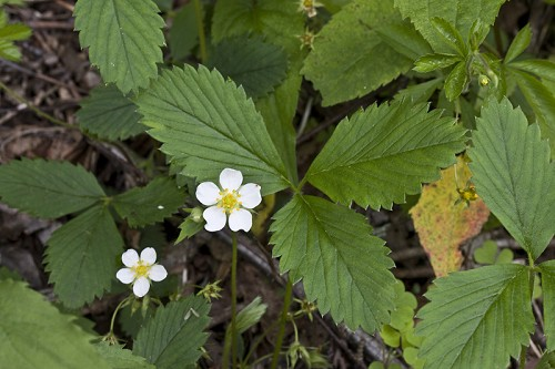 Fragaria virginiana #25