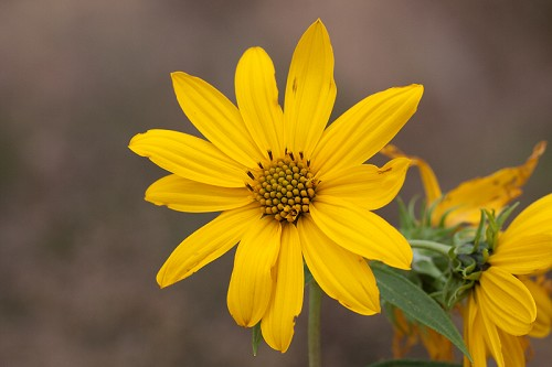 Helianthus grosseserratus #7