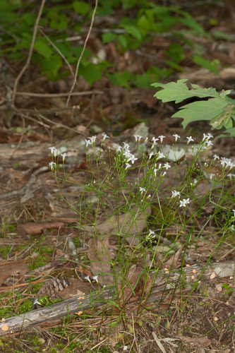 Houstonia ouachitana #5