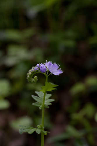 Phacelia purshii #5
