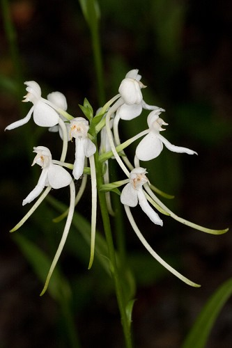 Platanthera integrilabia #30