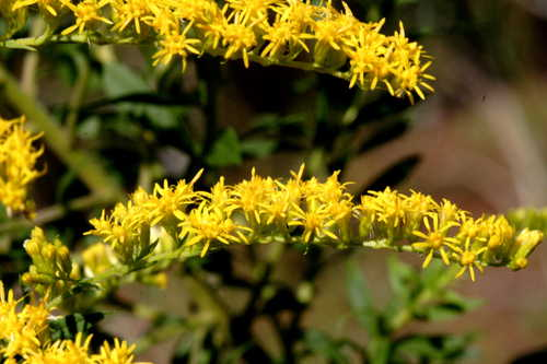 Solidago sp. 1 #1