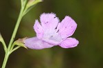Purple false foxglove