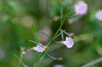 Green false foxglove