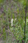 White colicroot