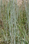 Broom sedge
