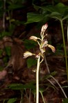 Adam and Eve orchid <BR>Puttyroot