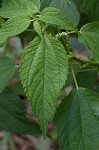 Smallspike false nettle