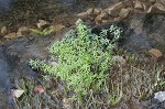 Twoheaded water-starwort