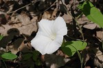 Catesby's false bindweed