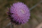 Nodding plumeless thistle