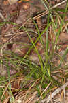 Calcium-hating sedge