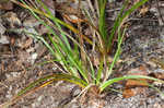 Florida sedge
