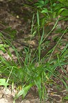 White bear sedge