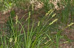 Yellowfruit sedge