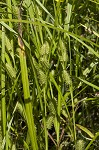 Goldenfruit sedge