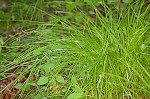 Brome-like sedge