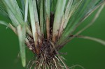 Coastal plain sedge
