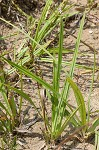 Littletooth sedge