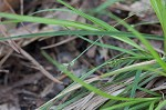 Black edge sedge
