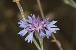 Cornflower&nbsp;<BR>Bachelor's button