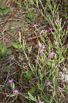 Branched centaury