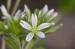 Sticky chickweed