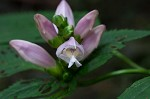 Pink turtlehead