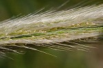 Feather fingergrass