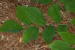 Kentucky yellowwood