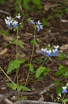 Spring blue eyed Mary