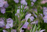 Cumberland false rosemary