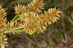 Redroot flatsedge