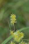 Strawcolored flatsedge
