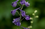 Tall larkspur