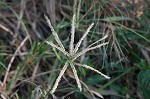 Indian goosegrass