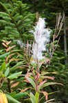 Fringed willowherb