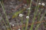 Flattened pipewort
