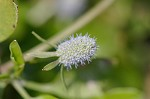 Creeping eryngo