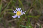 Southern pine aster