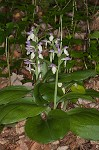 Showy orchis&nbsp;<BR>Showy orchid
