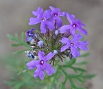 Dakota mock vervain