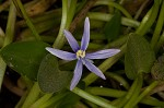 Blue mudplantain
