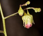 Downy alumroot