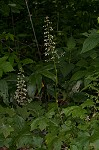 Hairy alumroot