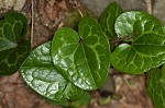 Largeflower heartleaf